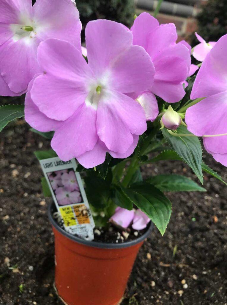 light-lavender-new-guinea-impatiens