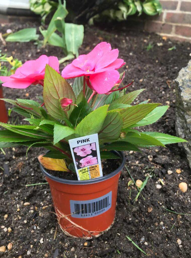 pink-new-guinea-impatiens